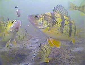 Yellow Perch going for a lure on an underwater camera