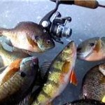 Reel and rod on the ice with a nice mess of panfish