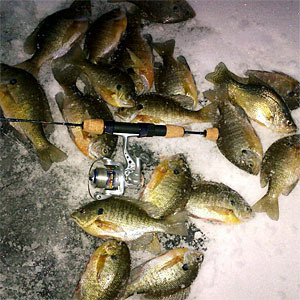 A nice catch of bluegills using these ice fishing techniques