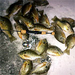 Bluegills, Bluegills and More Bluegills!