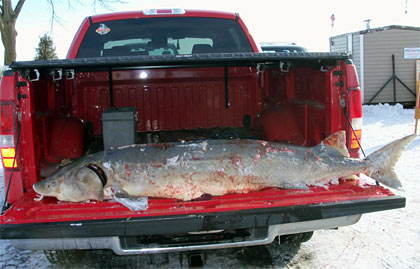 Giant Lake Sturgeon speared by Rich Miller in Wisconsin