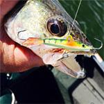 Jigging Walleye with Yukon Shiners