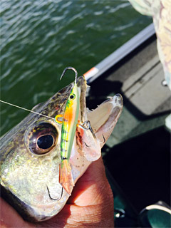 This walleye fell for a vertical jigged Yukon Shiner, perch color.