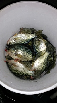 A bucket of crappie caught ice fishing with Skandia Tungsten jig and plastics