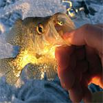 Skandia Success Ice Fishing!