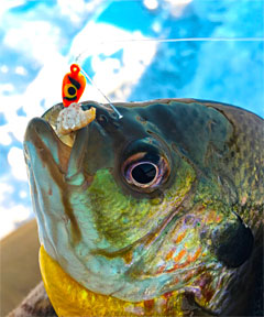Caden Bradley caught this nice bluegill on a Skandia tungsten tear drop ice jig