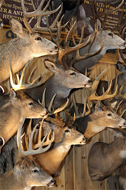 Deer mounts  aplenty at the 2017 Outdoorama conservation and outdoors show!